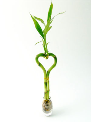 Lucky Bamboo Products Lovers Delight 8 Heart Shaped In Oval